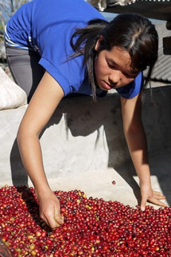 Lee's sister sorts the coffee cherries.
