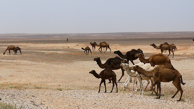 camels desert jordan