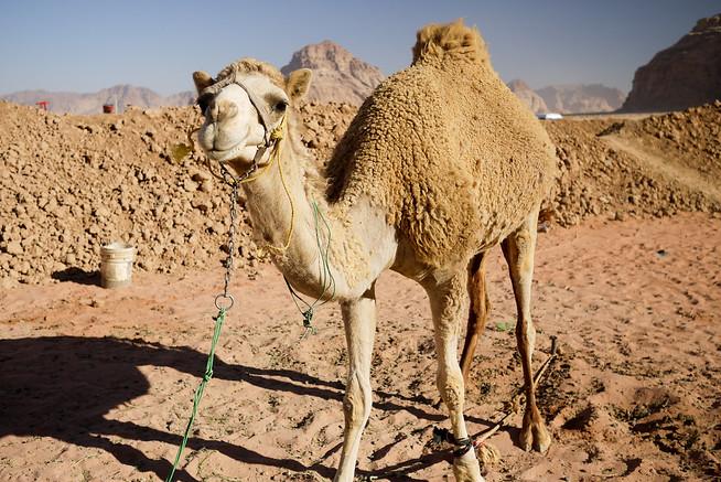 Mommy camel at the Desert Tent Camp in Wadi Rum, Jordan