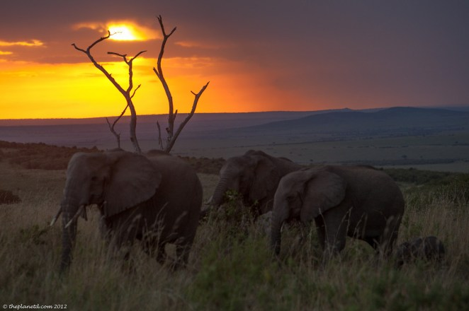 Elephants at Sunset in Kenya