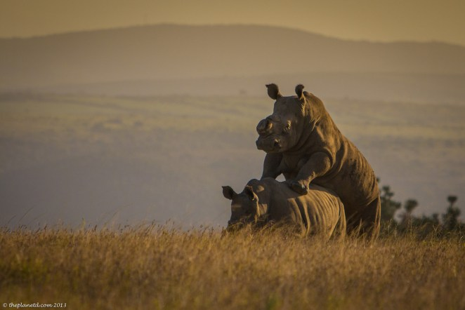 rhinos on Safari South Africa