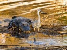 The great blue heron,
