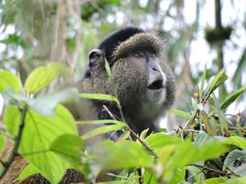 Golden-Monkey-Rwanda