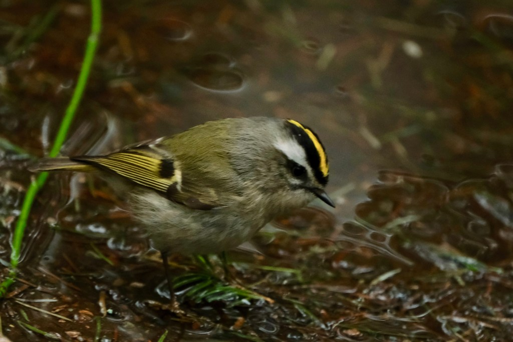 Golden Crowned Kinglets in BC