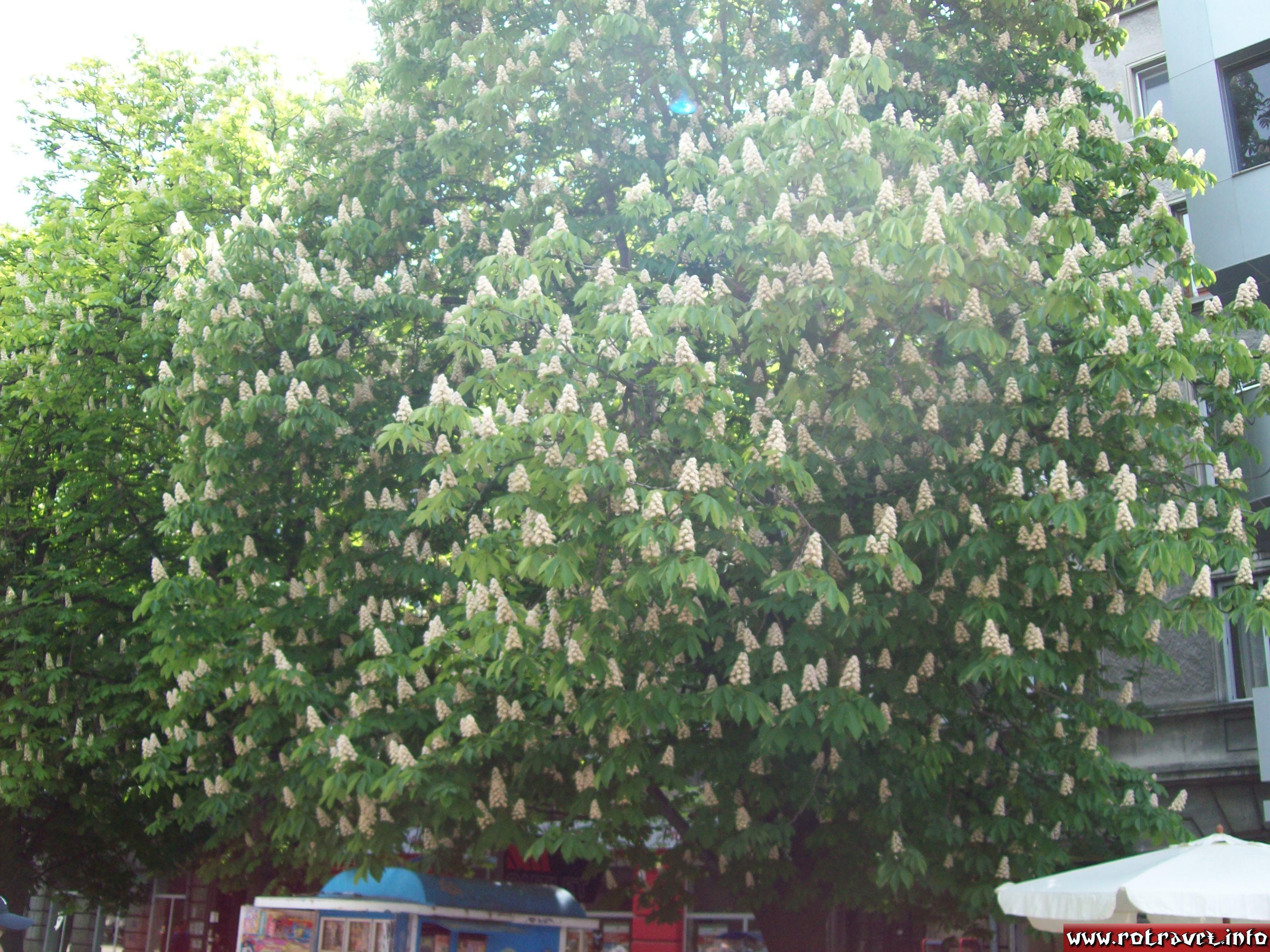 Tilia tree (Romanian: Tei, Bulgarian: Lipa)