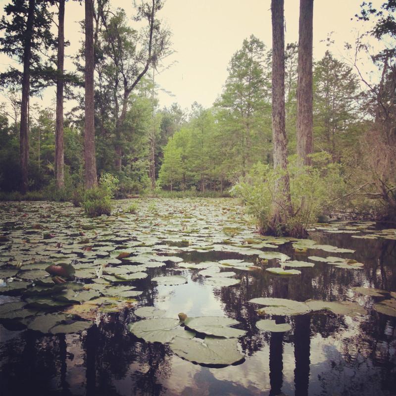 Seerosenblätter Sümpfe Cypres Gardens South Carolina