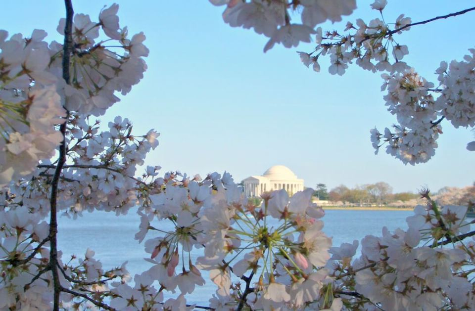 Kirschblüte-Washington-DC-Synke-Nepolski