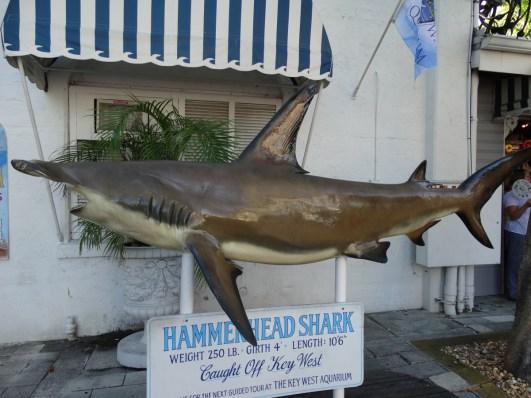 Key West Hai