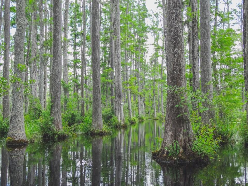 Es geht weiter hinein in die Sümpfe von Cypress Gardens South Carolina