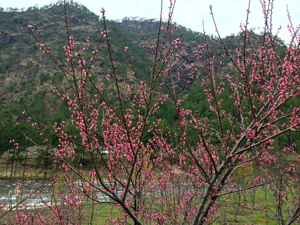 Colourful fruit blossoms in Himachal Pradesh.