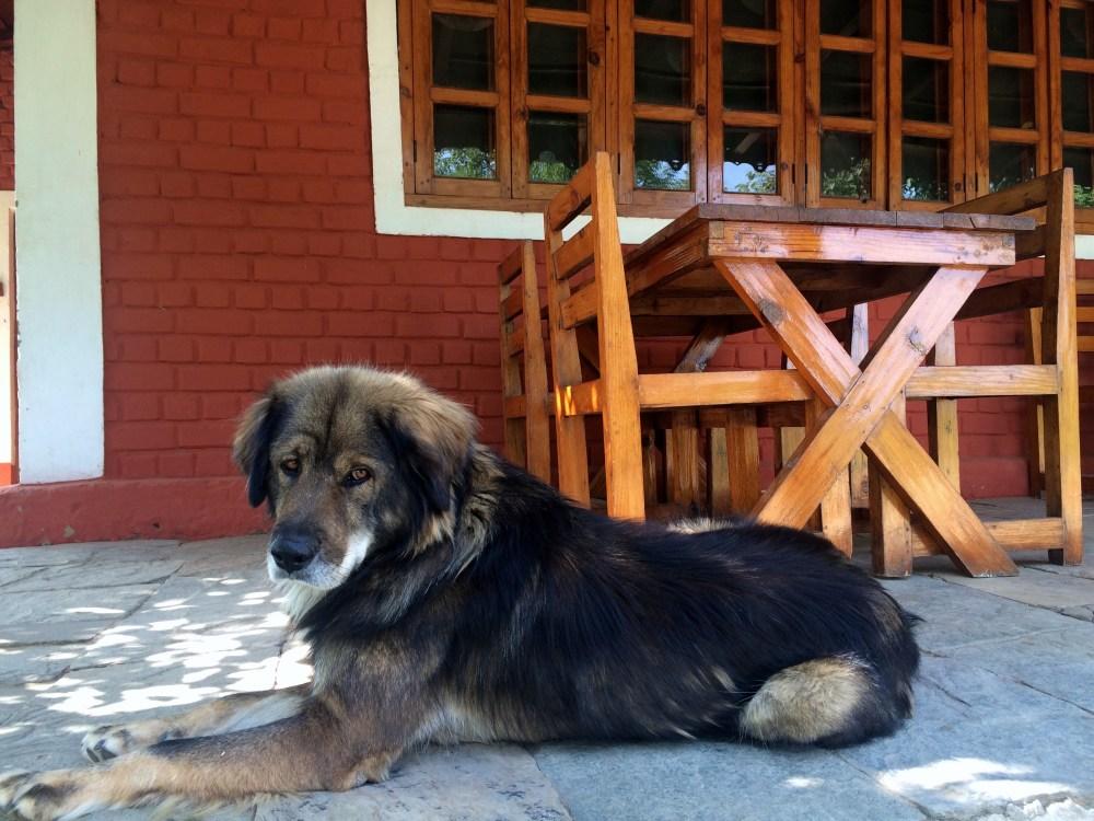 Jhumroo Dog Sonapani