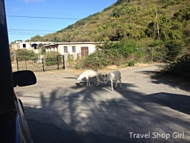 Wild donkeys out on the road