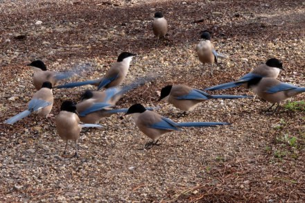 azure-winged-magpies-feeding-small