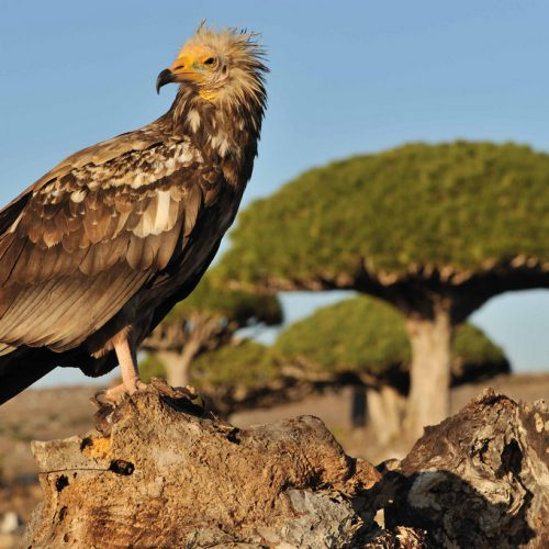 Egyptian Vulture on Socotra Island | Yemen