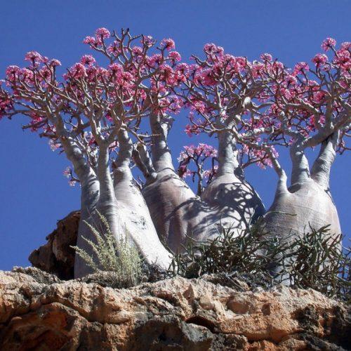 Adenium Obesum Trees | Socotra Island | Yemen