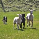 things to do lake district_sheep-herding