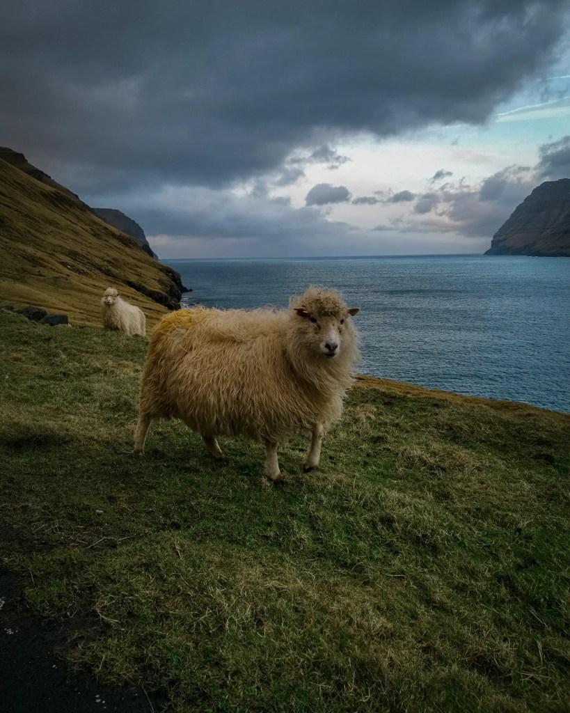 Une des plus jolies habitants des Iles Féroé que je nomme un mouton