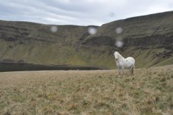 Pony, Welsh, Black Mountain