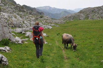 Cow, Mountains, Hiker