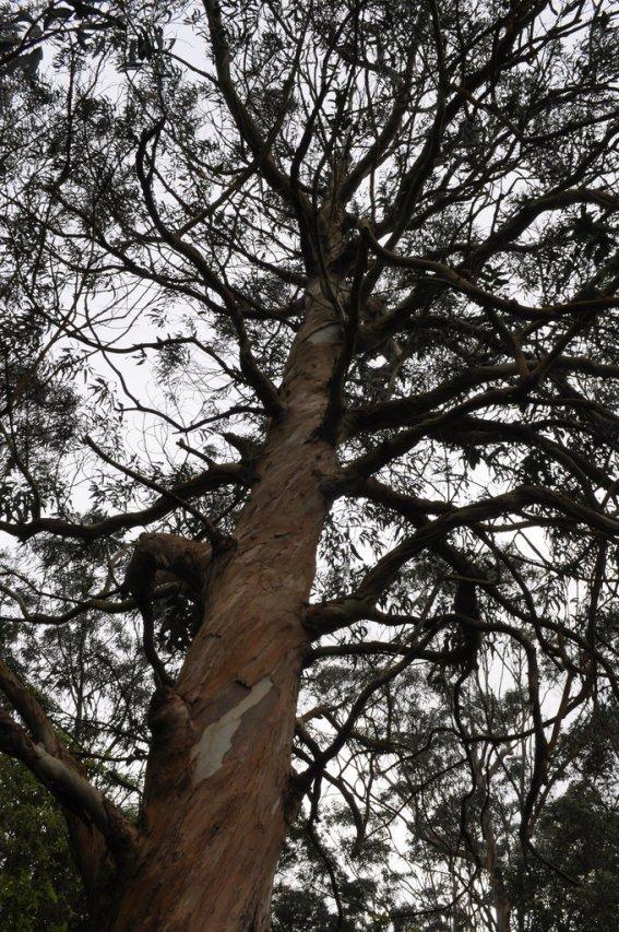 Eucalyptus tree!