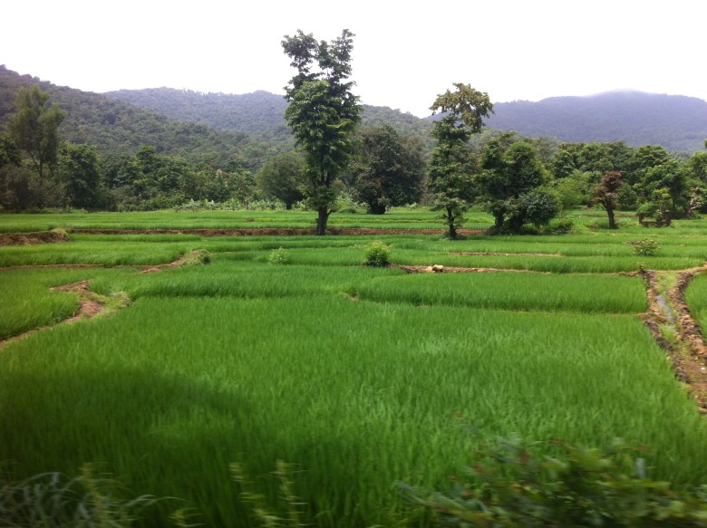 rice fields in south goa