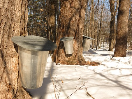 Maple recipes from Quebec: Only use pure syrup! It takes 39 gallons of sap to make 1 gallon of syrup. (Photo credit: Pixabay)