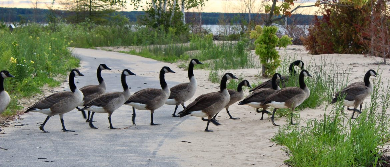 Geese crossing Manistique MI boardwalk
