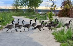 Geese crossing Manistique MI boardwalk
