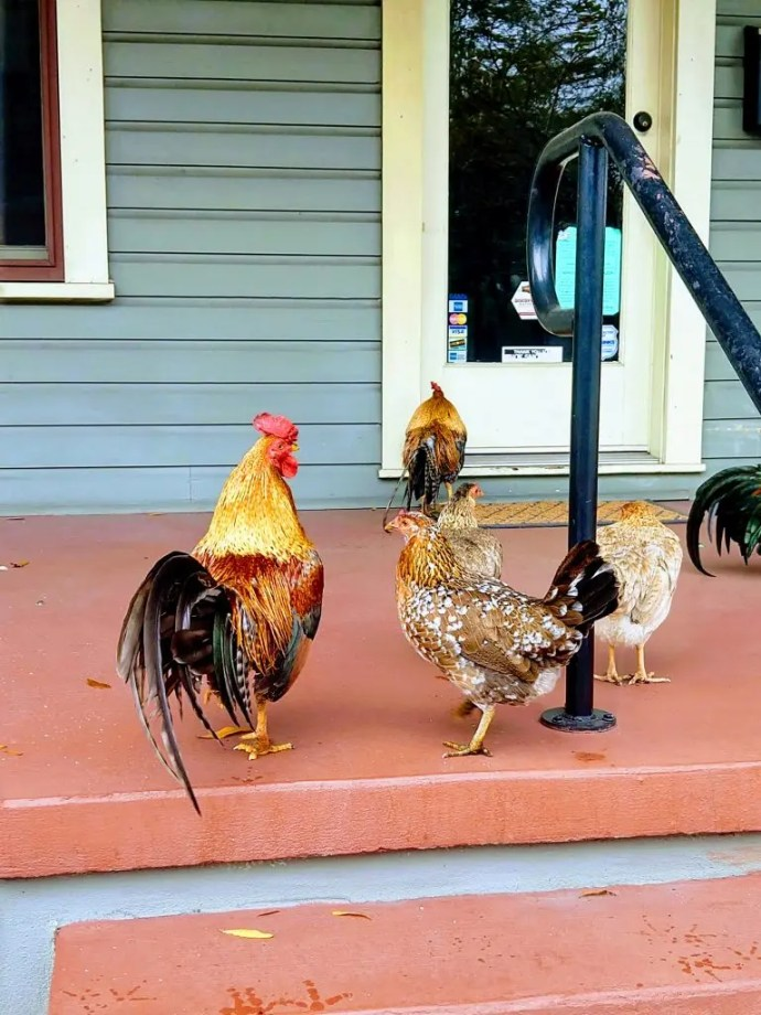 Ybor City Chickens on s Porch