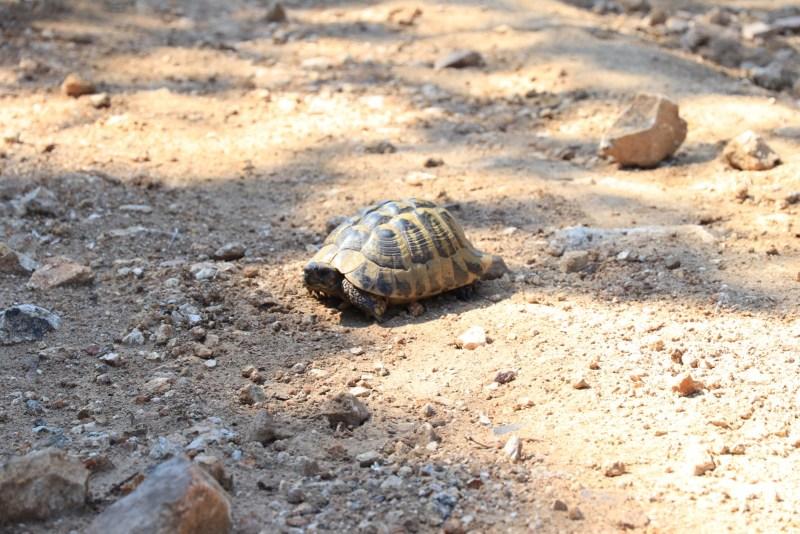 Griechenland Landschildkröte