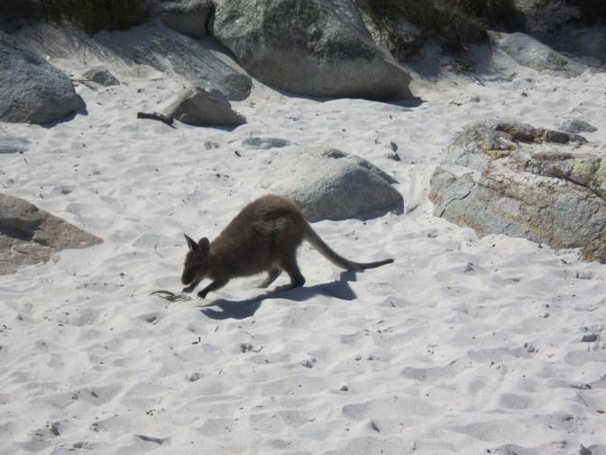 Kangaroo at Wineglass Bay Beach