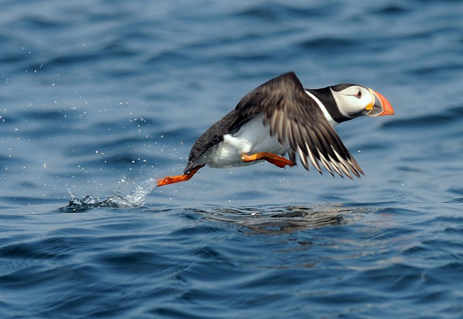 puffins scotland flying