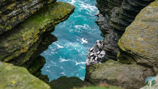 westray gannets noup head