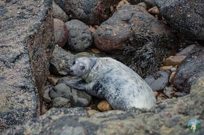 seal fife