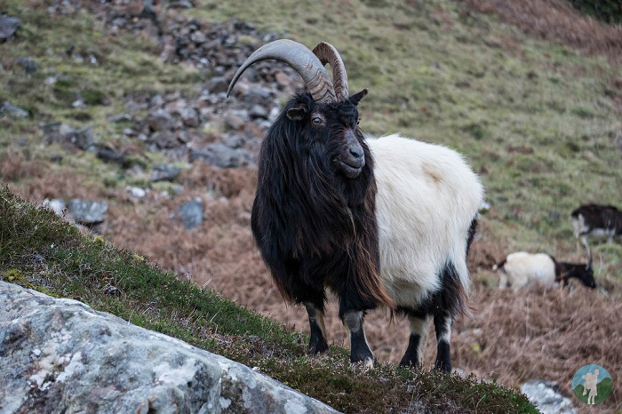 wild goats scotland isle of mull