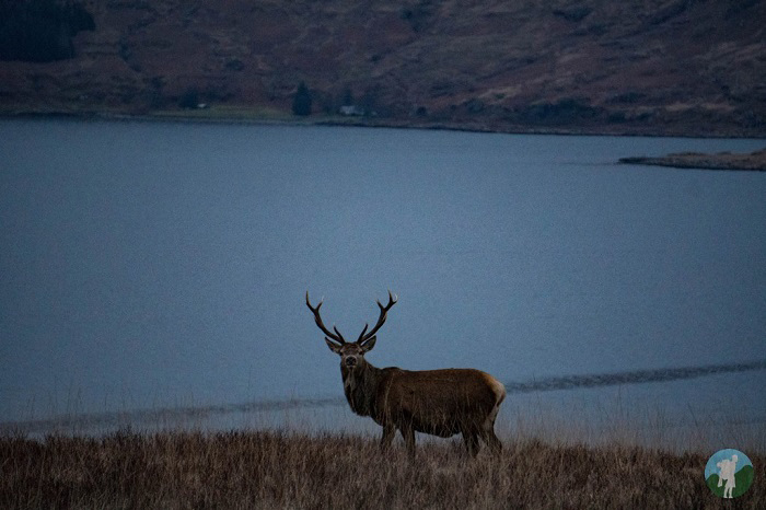 stag isle of mull