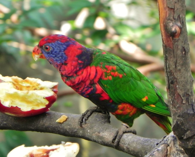 China, Hong Kong, Hong Kong Park, parks, birds, aviary, lorikeet, rainbow lorikeet