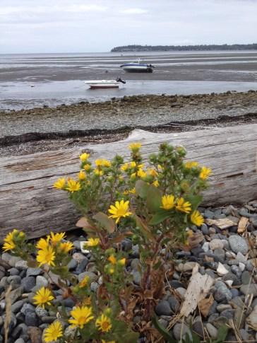 Grindelia growing along the beach