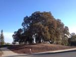 Grandmother oak in Sun City