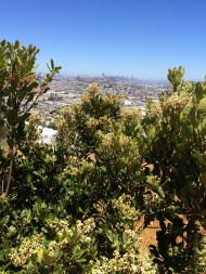Native Toyon was blooming. City in distance.