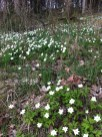 Wood Anemone carpeting woodland floors in Åkersberga, Sweden