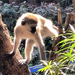 Vervet monkey poised in a yellow oleander tree, ready to jump on the trampoline in Mwanza, Tanzania.