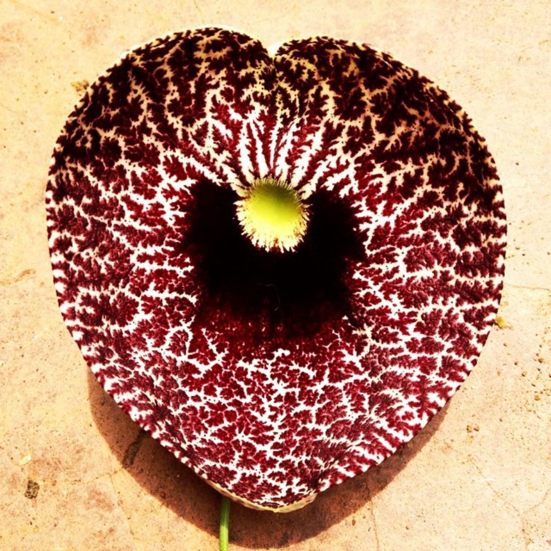 Aristolochia littoris - my Valentine's Day Flower from my garden in Mwanza, Tanzania