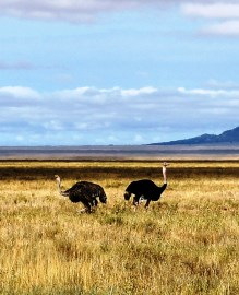 Ostriches in the Serengeti National Park, Tanzania