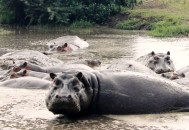Hippopotamuses in the Ngorogoro Crater, Tanzania.