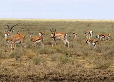 Thomson Gazalle in the Serengeti National Park, Tanzania