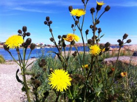Yellow flowers and blue skies in Bohuslän, Sweden