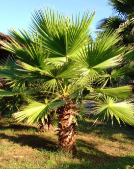 Sabal Palm Tree