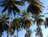 Palm trees in Tanzania