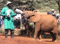 Elephant being fed milk at the the David Sheldrick Wildlife Trust in Nairobi